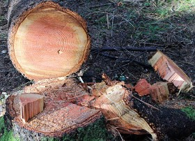 Felling trees like our grandfathers